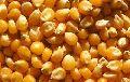Loose Maize Seeds
