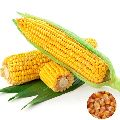 Fresh Yellow Corn Seeds