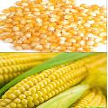Natural Corn Seeds