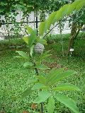 Custard Apple Plants
