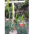 Red Dragon Fruit Plant