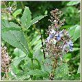 Organic Arni Herb