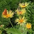 Organic Pushkarmool Herb