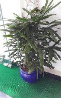 Rhapis Palm Lady Palm