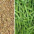 Hybrid Cluster Beans Seeds