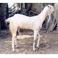 Jamunapari Goat