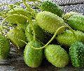 GRAVIOLA FRUIT EXTRACTS