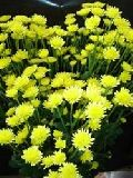 Button Yellow Chrysanthemum Flower