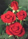 Magnum Red Rose