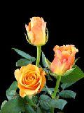 Fresh Milva Orange Rose Flower