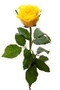 Solar Yellow Rose Flower