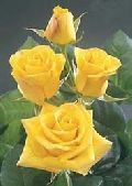 Sunking Yellow Rose