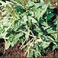 Cow Pea Seed