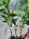 VNR GUAVA PLANTS