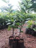 Super Golden Custard Apple Plant