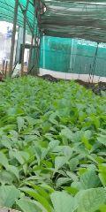Tissue Culture Teak Plant