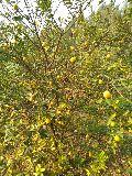 Kolkata Patti Lemon Plant