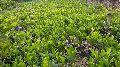 Red Jackfruit Plant