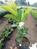 Taiwan Guava Plant