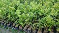 Thai Patti Lemon Plant