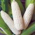 white Maizes