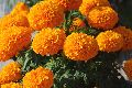 MARIGOLD HYBRID ORANGE SEEDS