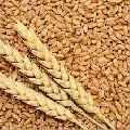 PBW-502 Wheat Seeds