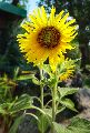 Hybrid Sunflower Seeds