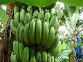 Organic Natural Green yellow Cavendish Banana