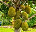 Jack Fruit Plants