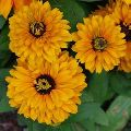 High Quality Sunny Yellow Fiery Gerbera