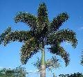 Foxtail Palm Plant