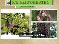 Dalbergia Latifolia Seeds