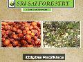 Ziziphus Mauritiana Seeds