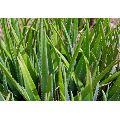 Fast Growth Aloe Vera Plant