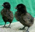 7days old kadaknath chicks