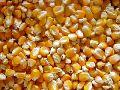 Raw Maize Seeds