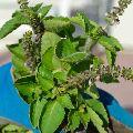 Natural Raw Honey-Holy Basil