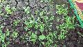 Stevia Baby Plant