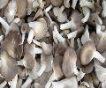 Fresh Grey Oyster Mushroom