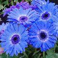 Blue Gerbera Flower