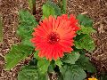 Natural Gerbera Flower