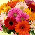 Organic Gerbera Flower