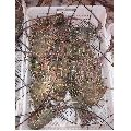 Frozen Lobster Fish