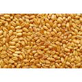 Raj 1482 Wheat Seeds