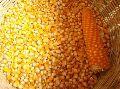 Pure Maize Seeds