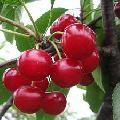Natural Red Cherries