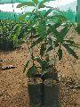Kapil Agro Himayath Mango Plants