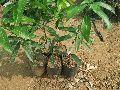 Kapil Agro Kesar Mango Plants