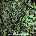 Vasaka Leaves